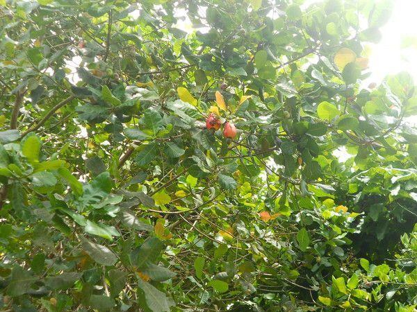 Pomme-cajou