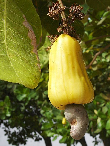 La pomme de cajou
