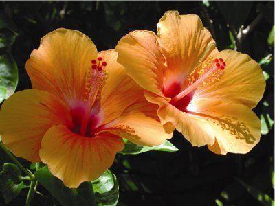 http://penseesdevie.p.e.pic.centerblog.net/hibiscus.jpg